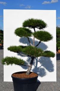 1140 Borovice černá pravá  - Pinus nigra nigra