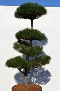 1141 Borovice lesní  - Pinus sylvestris