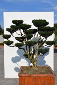1143 1 - Zimostráz obecný - Buxus sempervirens