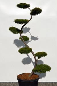 1144 Modřín japonský  - Larix kaempferi