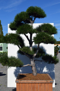 1147 Borovice černá pravá  - Pinus nigra nigra