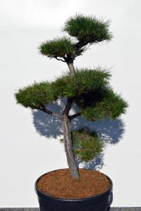 1149 Borovice lesní  - Pinus sylvestris