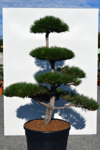1150 Borovice černá pravá  - Pinus nigra nigra