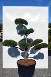 1151 Borovice lesní  - Pinus sylvestris