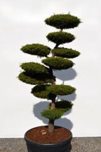 1152 - Kryptomerie japonská - Cryptomeria japonica 'Elegans Viridis'