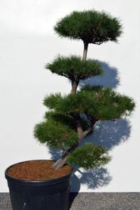 1153 Borovice lesní  - Pinus sylvestris