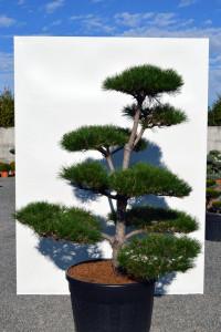 1154 Borovice černá pravá  - Pinus nigra nigra