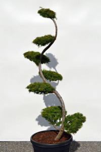 1156 Modřín japonský  - Larix kaempferi
