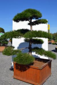 1159 Borovice černá pravá  - Pinus nigra nigra