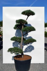 1160 Borovice lesní  - Pinus sylvestris