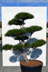 1161 Borovice černá pravá  - Pinus nigra nigra