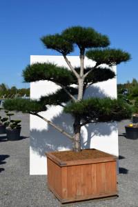 1162 Borovice černá pravá  - Pinus nigra nigra