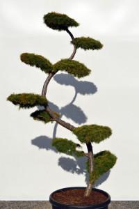 1164 Modřín japonský  - Larix kaempferi