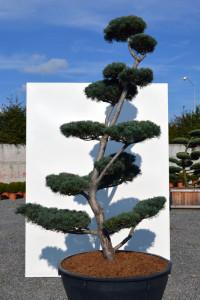 1165 - Borovice drobnokvětá - Pinus parviflora 'Tempelhof'