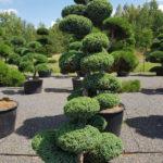 1166 - Jalovec čínský - Juniperus chinensis 'Blue Alps'