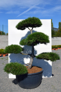 1167 Borovice černá pravá  - Pinus nigra nigra