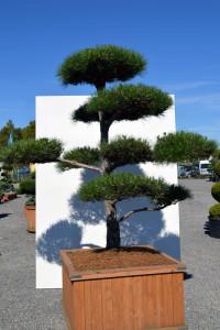 1168 Borovice černá pravá  - Pinus nigra nigra