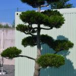 1175 - Borovice Heldreichova - Pinus heldreichii