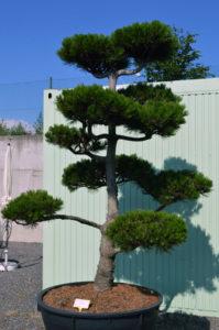 1175   Borovice Heldreichova - Pinus heldreichii