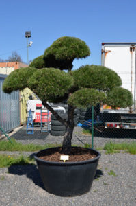 1176 - Borovice černá pravá - Pinus nigra nigra