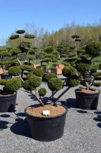 1177 - Tis japonský - Taxus cuspidata 'Farmen'