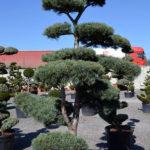 1181 - Borovice drobnokvětá - Pinus parviflora 'Glauca'