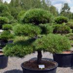 1182 - Borovice černá pravá - Pinus nigra nigra