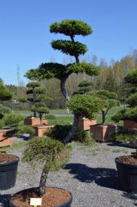1186 - Modřín japonský - Larix kaempferi