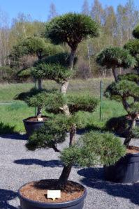 1187 - Borovice lesní - Pinus sylvestris