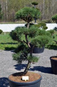 1188 - Borovice lesní - Pinus sylvestris