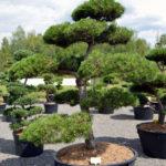 1189 - Borovice černá pravá - Pinus nigra nigra