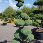 1190 - Jalovec čínský - Juniperus chinensis 'Blue Alps'