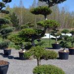 1191 - Modřín japonský - Larix kaempferi
