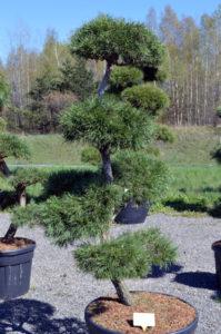 1192 - Borovice lesní - Pinus sylvestris