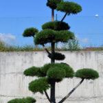 1193 - Borovice kleč - Pinus mugo