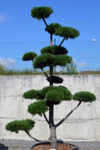 1193   Borovice kleč - Pinus mugo