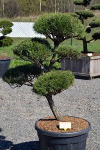 1194 - Borovice lesní - Pinus sylvestris