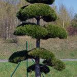 1196 - Borovice černá pravá - Pinus nigra nigra