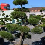 1198 - Borovice černá pravá - Pinus nigra nigra