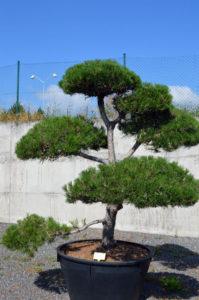 1201 - Borovice černá pravá - Pinus nigra nigra