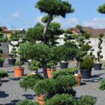 1204 - Borovice drobnokvětá - Pinus parviflora 'Glauca'