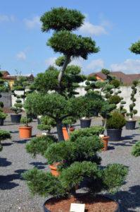 1204   Borovice drobnokvětá - Pinus parviflora 'Glauca'
