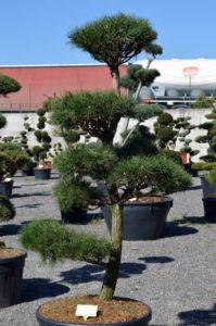 1205 - Borovice lesní - Pinus sylvestris