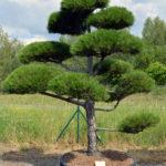 1206 - Borovice černá pravá - Pinus nigra nigra