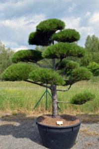 1206   Borovice černá pravá - Pinus nigra nigra