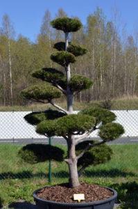 1207 - Borovice Heldreichova - Pinus heldreichii