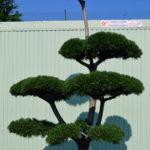 1209 - Borovice kleč - Pinus mugo