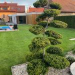 121 - Cesmína vroubkovaná 'Green Hedge' - Tvarožná