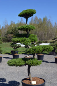 1211 - Modřín japonský - Larix kaempferi