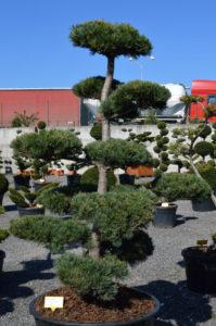 1212 - Borovice drobnokvětá - Pinus parviflora 'Tempelhof'